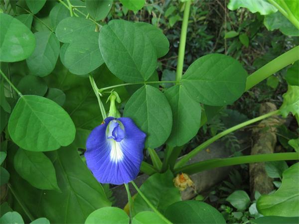 Butterfly Pea Flower Powder
