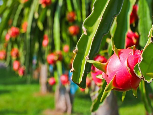 Pink pitaya Powder