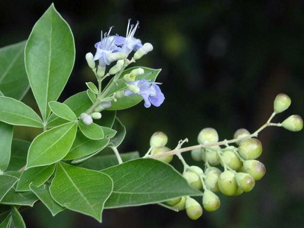 Chasteberry Extract